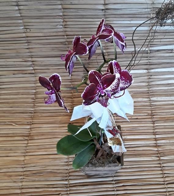 Orquídea Phalaenopsis 1H Hibrida 180504001 no cachepô