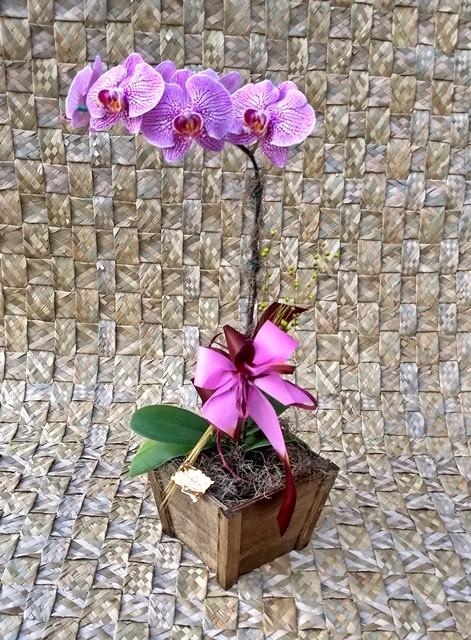 Orquídea Phalaenopsis 1H Hibrida 180510002A no cachepô