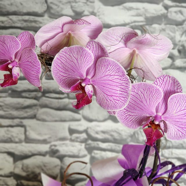 Orquídea Phalaenopsis 1H Hibrida 190529001 no cachepô