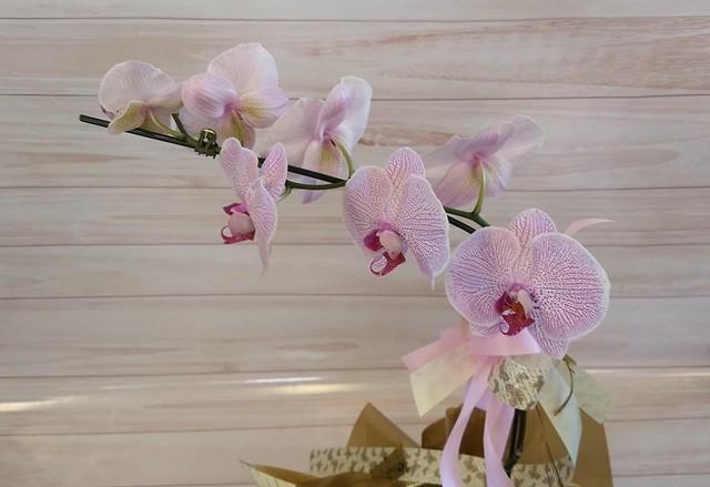 Orquídea Phalaenopsis 1H Mariposa no cachepô