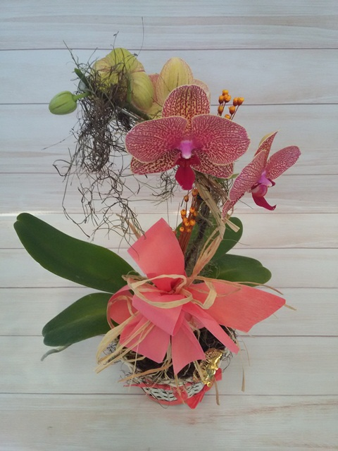 Orquídea Phalaenopsis 1H mariposa pantone no cachepô