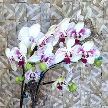 Orquídea Phalaenopsis 2H Hibrida no cachepô