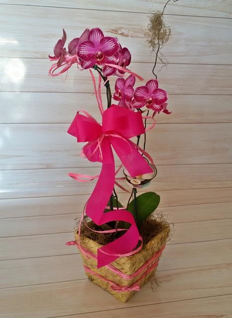 Orquídea Phalaenopsis 2HA mariposa pink no cachepô
