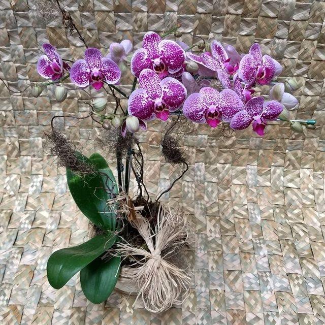 Orquídea Phalaenopsis Cor-de-rosa 2H mesclada
