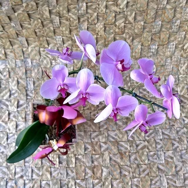 Orquídea Phalaenopsis Lilás 1H Hibrida 180510001A no cachepô