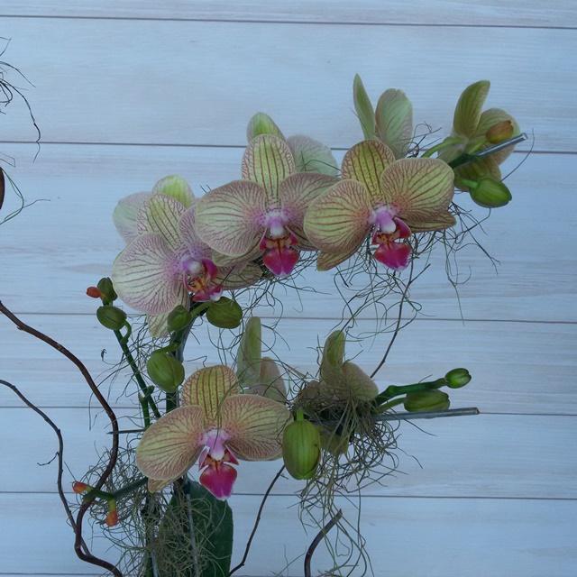 Orquídea Phalaenopsis Mariposa 2H