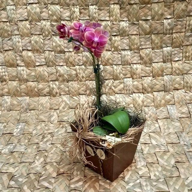 Orquídea Phalaenopsis Mini no Cachepô