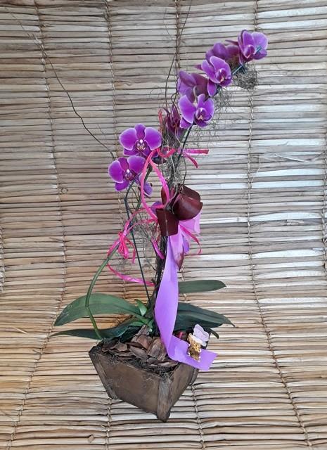 Orquídea Phalaenopsis Pink 2H