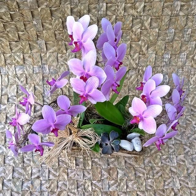 Orquídea Phalaenopsis Trio 1H Lilas no cachepô jardineira