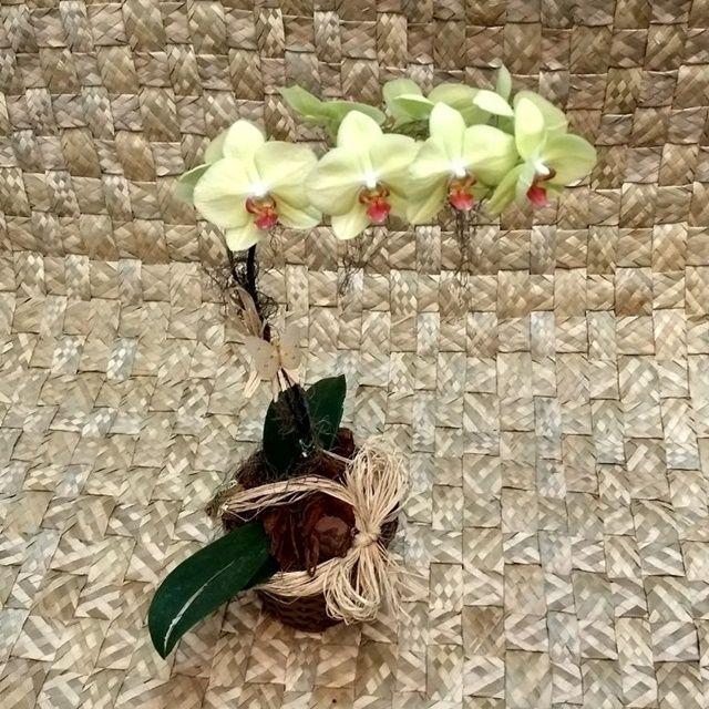 Orquídea Phalaenopsis Verde 1H Híbrida