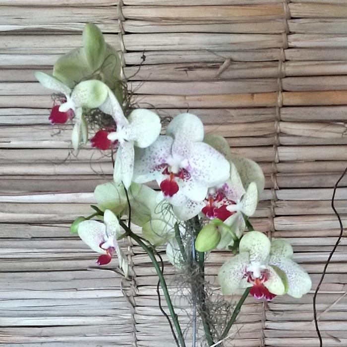 Orquídea Phalaenopsis verde 2H