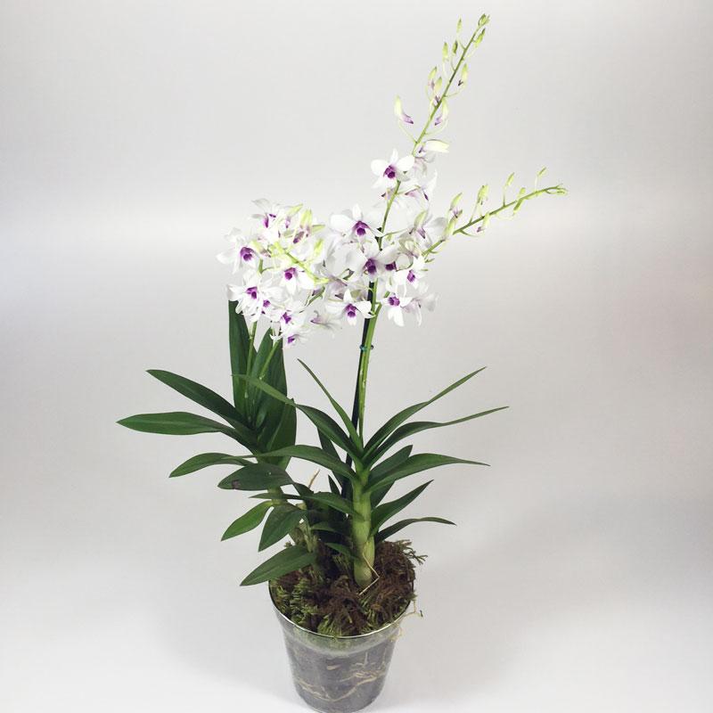 Vaso de Orquídea Denfallis