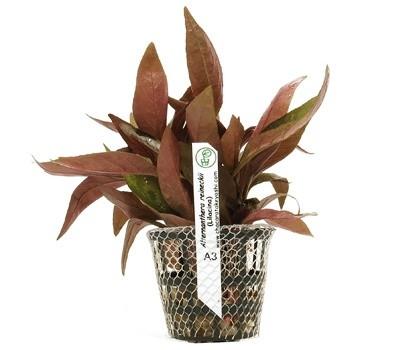 Alternanthera reineckii (Lilacina)  - Aquário Estilos