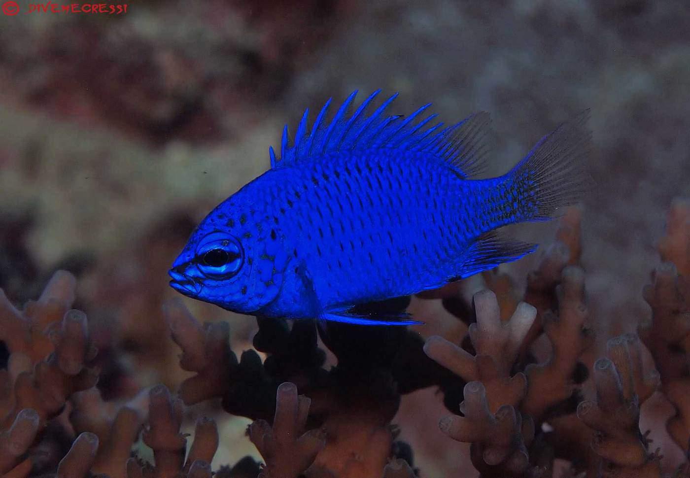 Donzela Azul  - Aquário Estilos