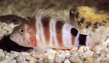 Hawkfish  Sarampinho (Cirrhitops fasciatus)  - Aquário Estilos