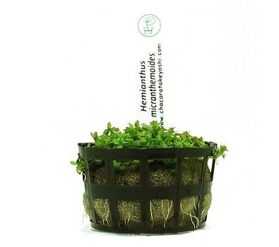 Hemianthus micranthemoides  - Aquário Estilos