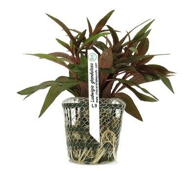 Ludwigia glandulosa  - Aquário Estilos