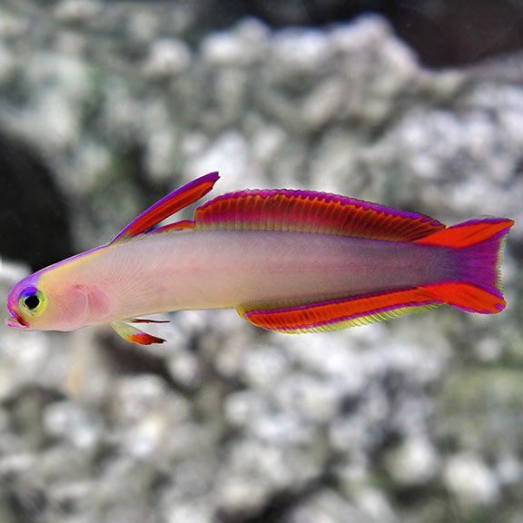 Purple Fire Fish  - Aquário Estilos