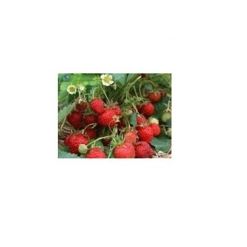 Sementes De Morango Ornamental  500Mg Topseed