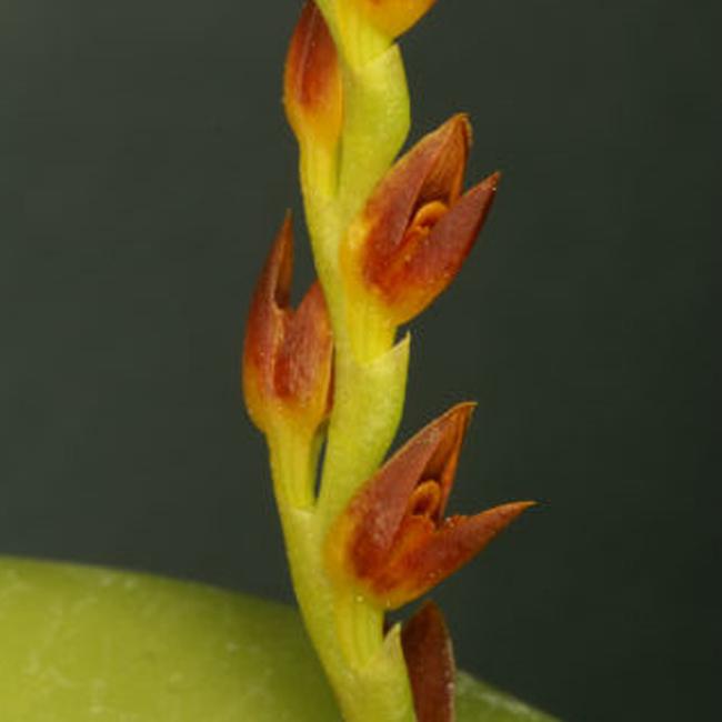 Acianthera ochreata