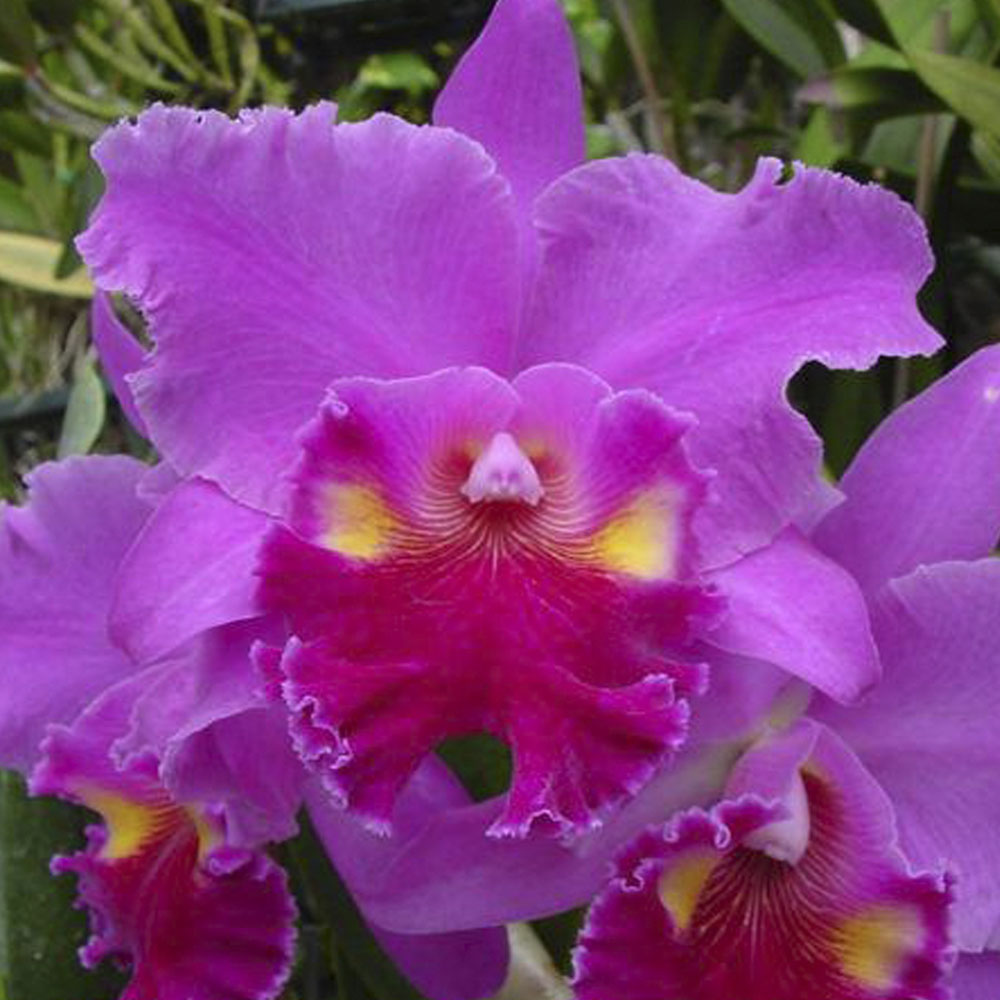 Blc. lucky strike