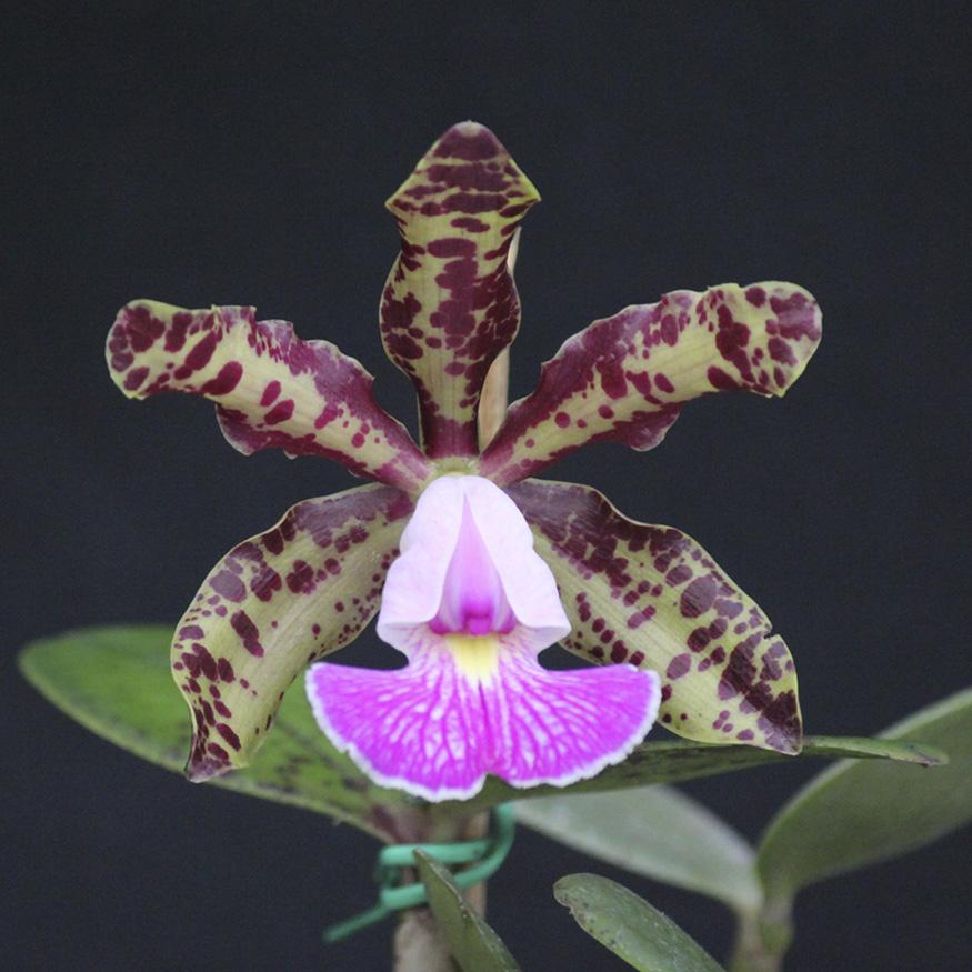 C. aclandiae X C. schilleriana