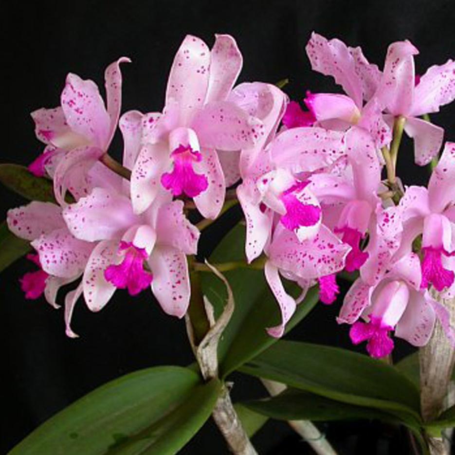 C. amethystoglossa
