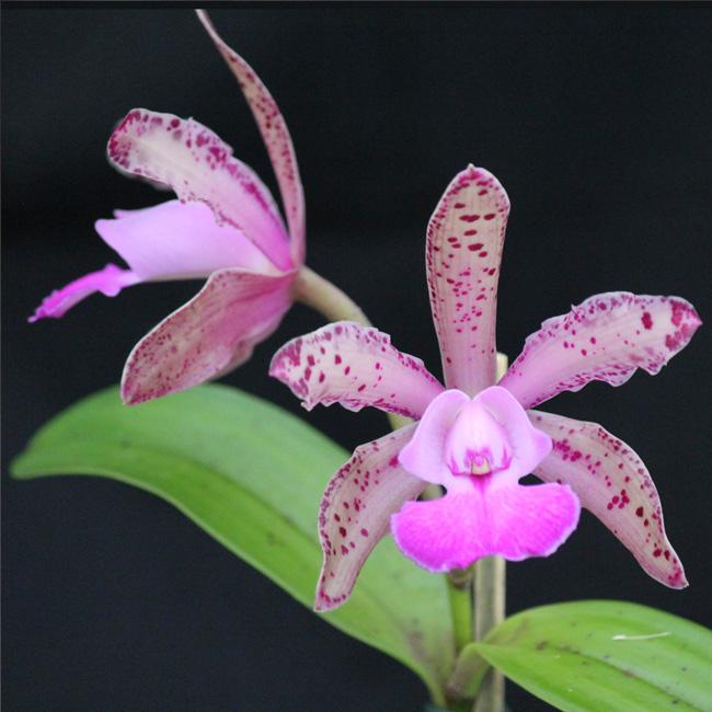 C. corcovado x C. aclandiae X C. nobile's wax toy
