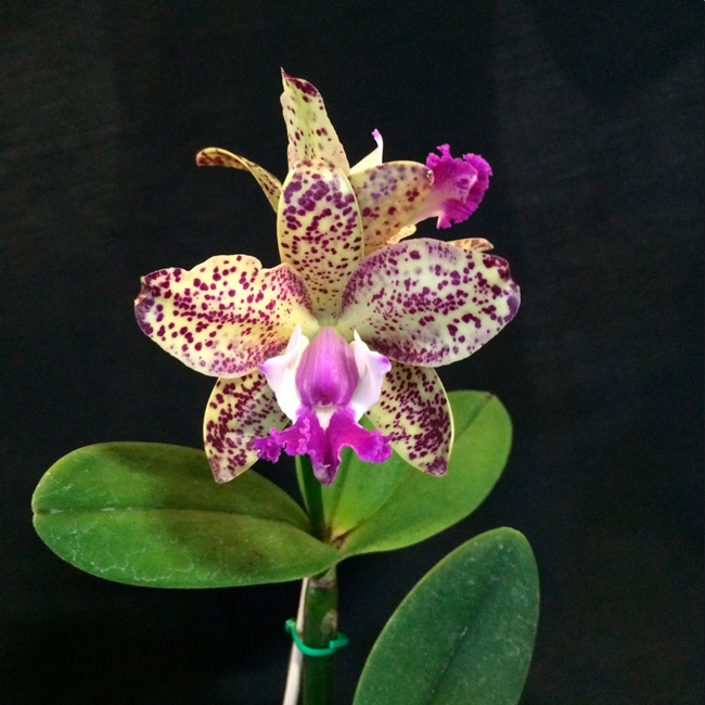 C. int. flamea x C. amethystoglossa X C. hawaiian variable x C. cruzeiro do sul