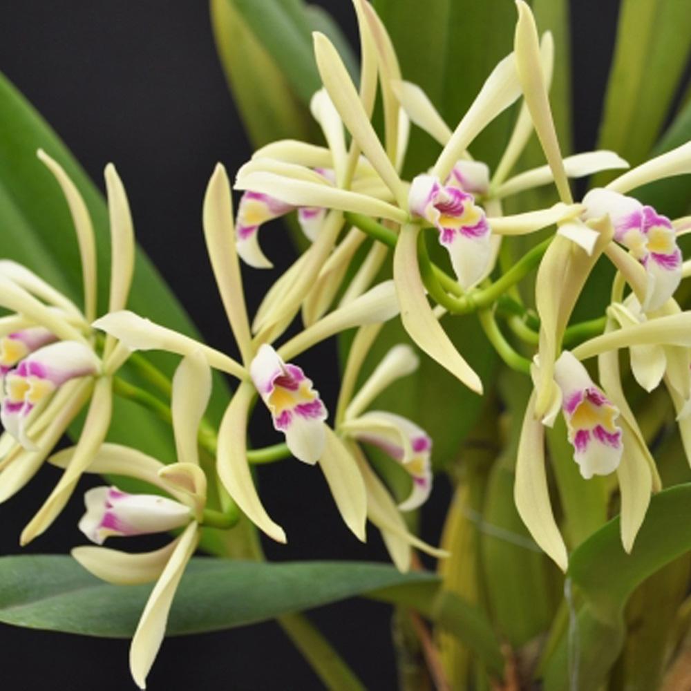 C. iricolor