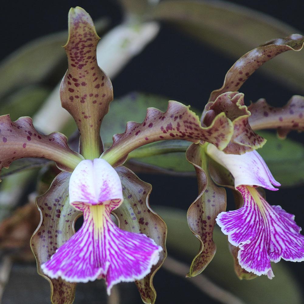 "C. schilleriana ""Oe"" X C. schilleriana ""Geane"""
