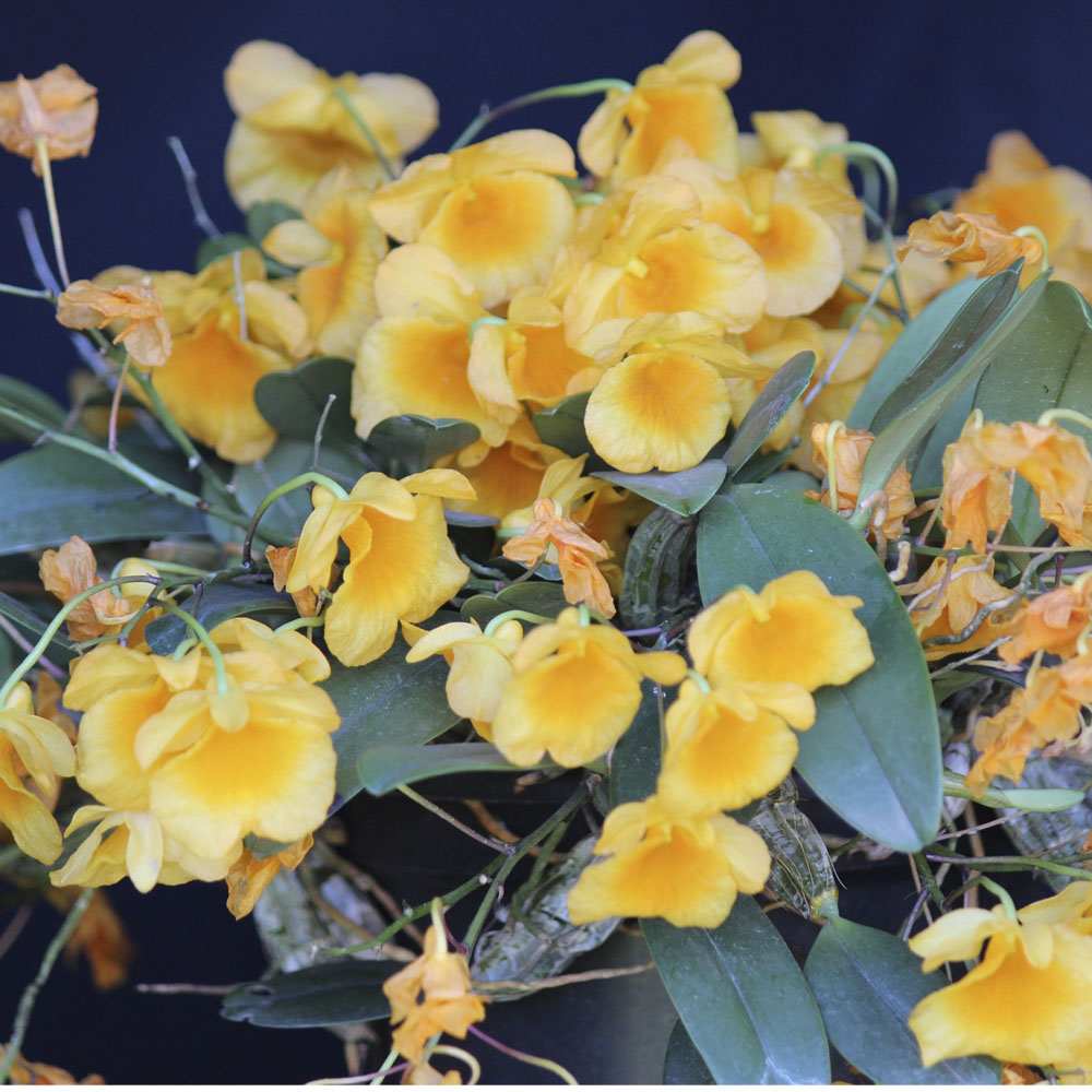 Dendrobium agreggatum X Dendrobium agreggatum