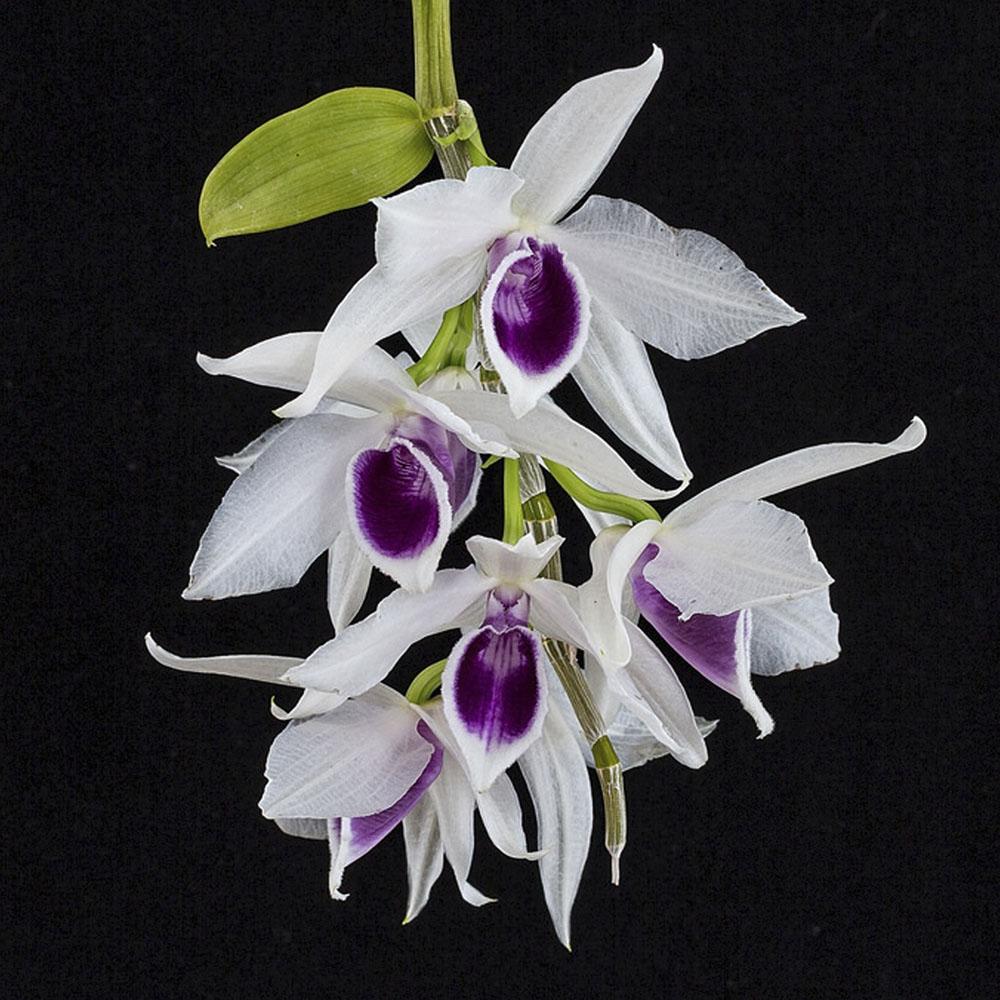 Dendrobium anosmum semi album
