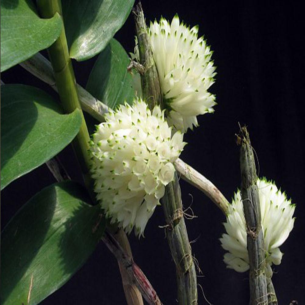 Dendrobium purpureum albo