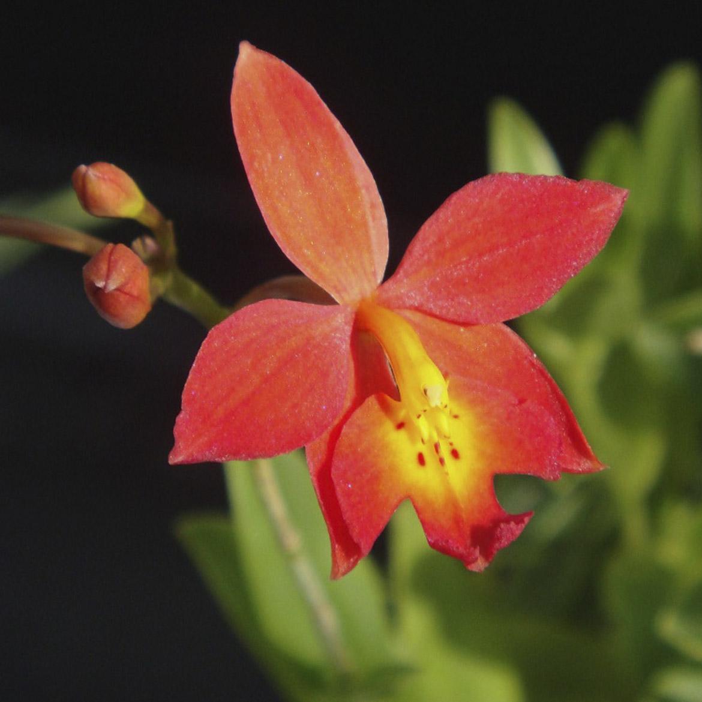 Epiphronitis Veitchii