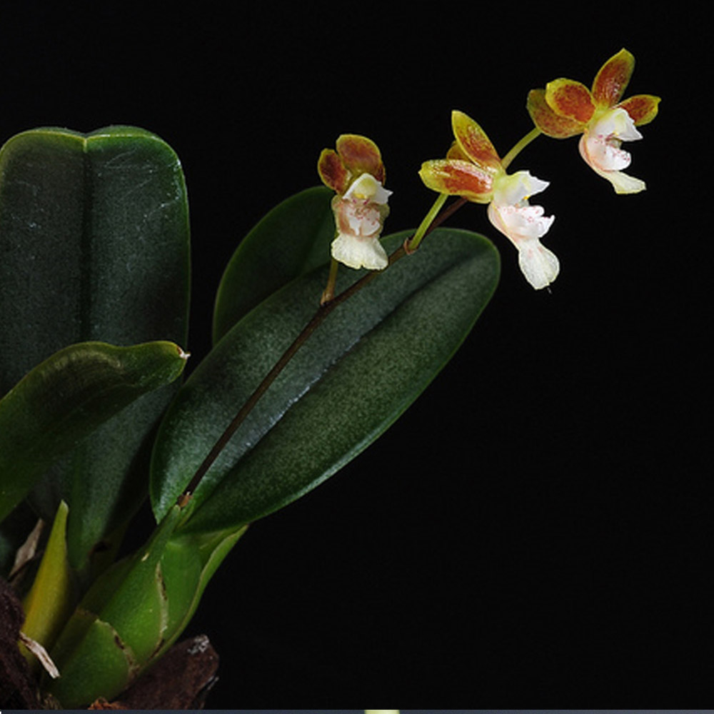 Grandiphyllum hians