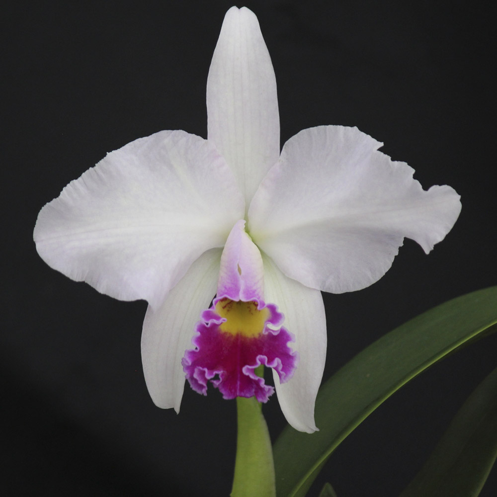 "L. anceps semi-alba X Lc. melody fair ""Mishima"" AM/AOS"