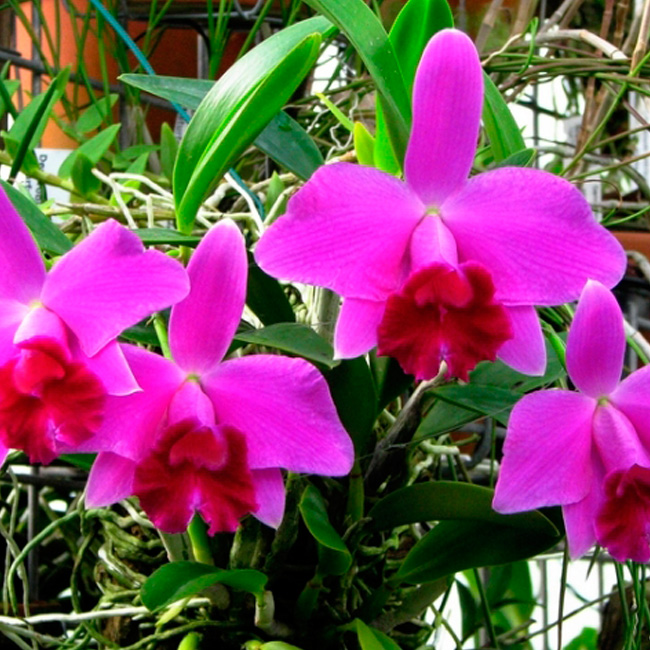 "Laelia pumila ""Black Diamond"" x Self"