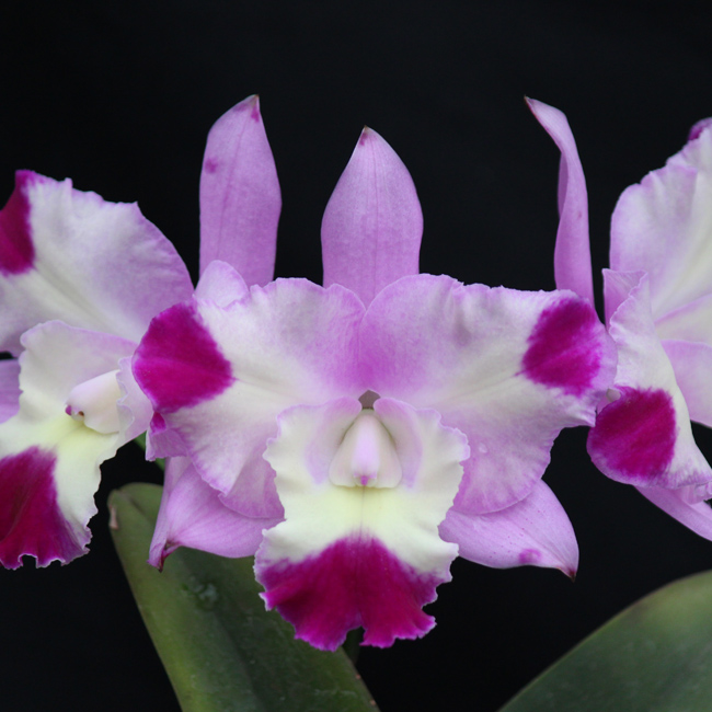 Lc. Aloha Case X Blc.Mary's Song ''Madame Butterfly''