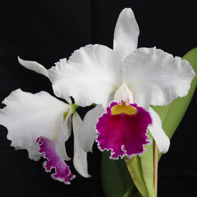 "Lc. mildred rives ""Orchidglade"" FCC/AOS/AM/AOS x Lc. ecstasy ""Orchidglade"" X Lc. orglade's grand"