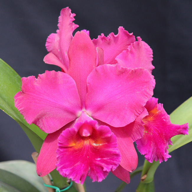 Lc. orglade's royal lady