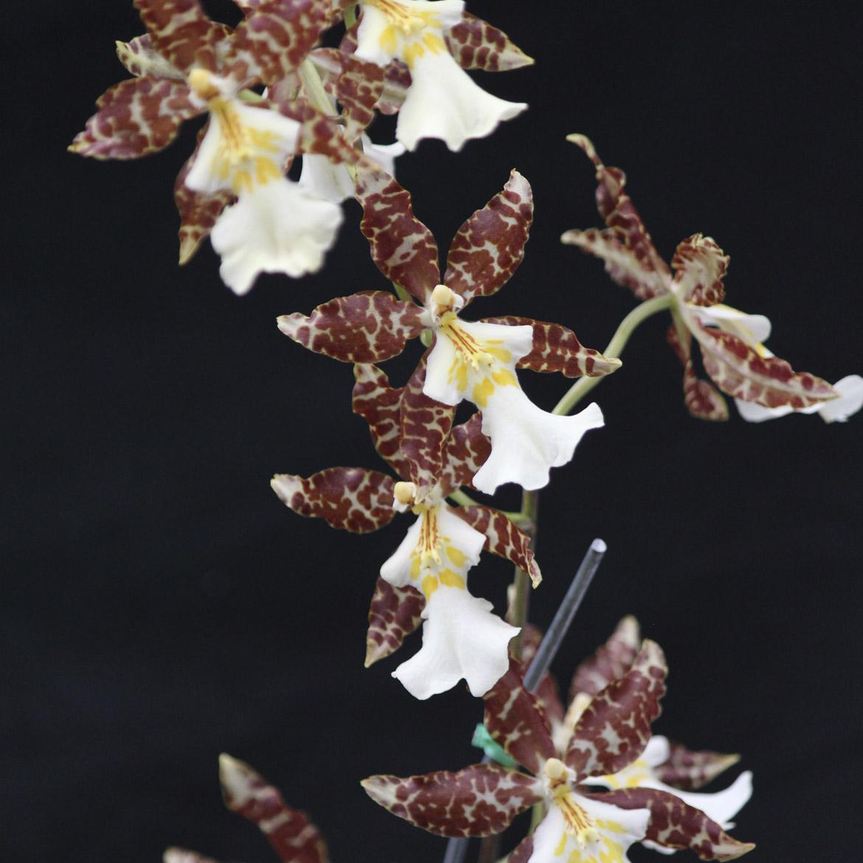 Odontoglossum esplendor