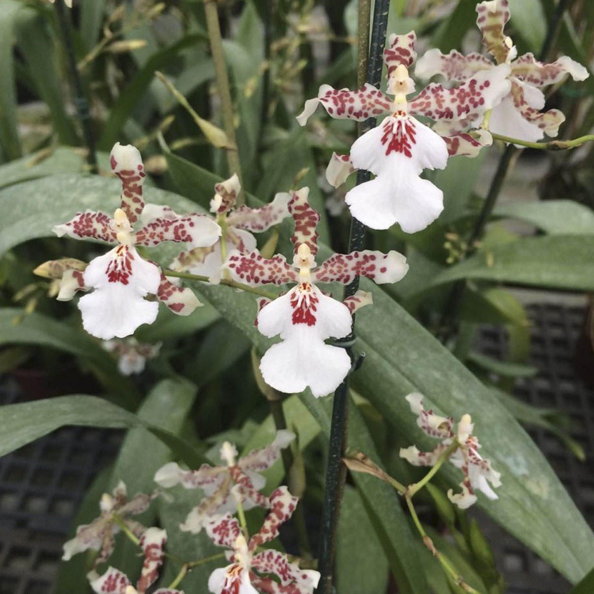 Oncidium speckle spire