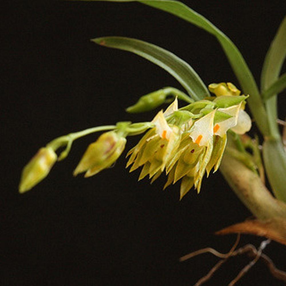 Rodrigueziella gomezoides