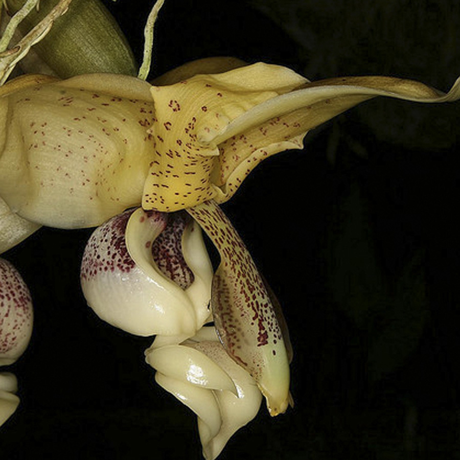 Stanhopea insignis x Self