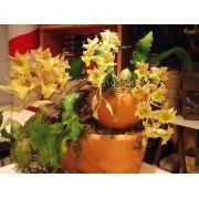 Catasetum fimbriatum