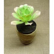 Aeonium arboreum var Arboreum