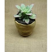 Aeonium haworthii tricolor