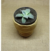 Agave parryi (pequeno)