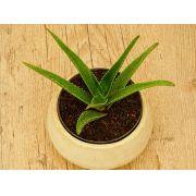 Aloe × delaetii
